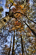 Fall Leaves Framed Prints - Autumn Canopy Framed Print by Heather Applegate