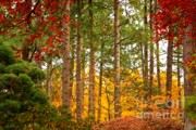 Fall Trees Posters - Autumn Canvas Poster by Carol Groenen