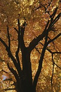 Physiology Art - Autumn Color Blazes In A Maple Tree by Roy Gumpel