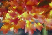 Selection Posters - Autumn Color Of Maple Tree Leaves Poster by Natural Selection Craig Tuttle