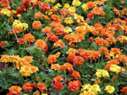 Marigolds Posters - Autumn Colors in Spring Poster by DigiArt Diaries by Vicky Browning