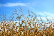 Agricultural Photos - Autumn corn by Sandra Cunningham