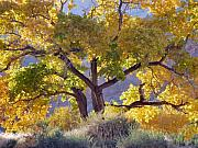 Cottonwood Photos - Autumn Cottonwood - Zion by Stephen  Vecchiotti