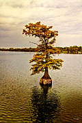 North Louisiana Prints - Autumn Cypress Print by Scott Pellegrin