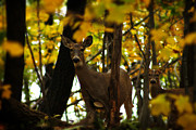 Michigan Fall Colors Posters - Autumn Doe Poster by Scott Hovind