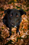 Black Lab Prints - Autumn Dog Print by Adam Romanowicz