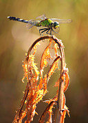 Golden Marsh Framed Prints - Autumn Dragonfly Framed Print by Carol Groenen