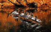 New England Sunset Photos - Autumn Ducks by William Carroll
