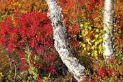 Autumn Foliage In Finland Print by Heiko Koehrer-Wagner