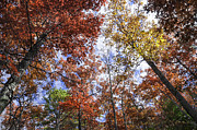 Autumn Forest Canopy Print by Lynn Bauer