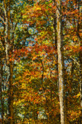 Turning Leaves Digital Art Prints - Autumn Forest Print by Shelley Dennis