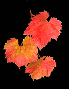 Grape Leaves Posters - Autumn Grape Leaves Poster by Floyd Hopper