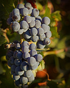 Vine Grapes Prints - Autumn Grapes on a Vineyard Branch in the Fields at a Winery in  Print by ELITE IMAGE photography By Chad McDermott