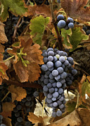 Autumn Grapes Print by Sharon Foster
