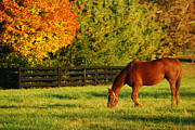 Grazing Horse Originals - Autumn Grazing by James Kirkikis