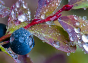 Forest Photos - autumn Huckleberry berry and leaves macro in autumn by Ed Book
