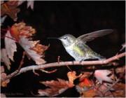 Joyce Dickens - Autumn Hummer