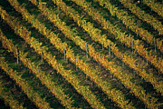 Vineyards Photo Originals - Autumn in Chianti by Franco Franceschi