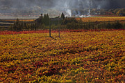 Grapevines Photo Posters - Autumn In Napa Valley Poster by Garry Gay
