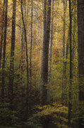 Autumn Trees Prints - Autumn in the Woods Print by Andrew Soundarajan