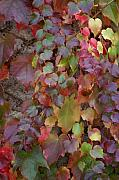 Autumn Leaf Prints - Autumn ivy Print by Jessica Rose