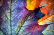 Fall Leaves Photos - Autumn Leaf Abstract 2 by Tara Turner