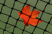 Futility Prints - Autumn Leaf In Net Print by Gary Slawsky