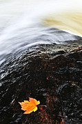 Rushing Photo Prints - Autumn leaf on river rock Print by Elena Elisseeva