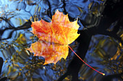 Tree Leaf Framed Prints - Autumn Leaf On The Water Level Framed Print by Michal Boubin