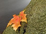 Autumn Leaf Posters - Autumn Leaf Study Poster by Jim DeLillo