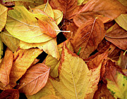 Colour Gold Prints - Autumn leaves Print by Carlos Caetano
