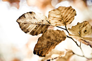 Autumn Leaves Photo Framed Prints - Autumn Leaves Framed Print by Frank Tschakert