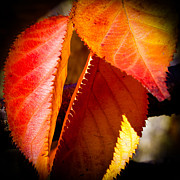 Red Leaf Prints - Autumn Leaves II Print by David Patterson