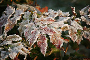 Fall Bushes Prints - Autumn Leaves in a Frozen Winter World Print by Christine Till