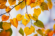 Golden Leaves.beauty Prints - Autumn Leaves Print by Jenny Rainbow