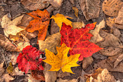Yellow Leaves Prints - Autumn Leaves Print by Matt Dobson