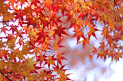 Red Tree Prints - Autumn Leaves Print by Myu-myu