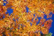Transitions Posters - Autumn Leaves Poster by Natural Selection Craig Tuttle