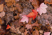 Decaying Prints - Autumn Leaves On Forest Floor Print by Gerry Ellis