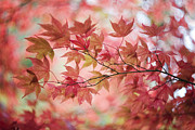 Japanese Maple Prints - Autumn Loving Print by Jacky Parker