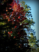 Autumn Maple And Ponderosa Pines Print by Aaron Burrows