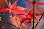 Red Maple Leaves Framed Prints - Autumn Maple Framed Print by Kaye Menner