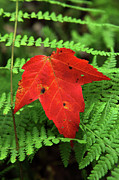 Forest Floor Posters - Autumn Maple Leaf on Green Ferns Poster by John Stephens