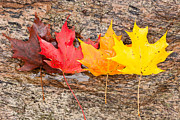 Red Maple Tree Photos - Autumn Maple Leaves by Clarence Holmes