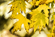 Fall Photographs Framed Prints - Autumn Maple Leaves Framed Print by James Bo Insogna