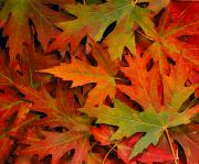 Fallen Leaf Photos - Autumn Maple Leaves by Tomas del Amo - Printscapes
