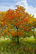 Cloudy Sky Posters - Autumn maple tree Poster by Elena Elisseeva