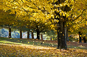 Sunlight Posters - Autumn Maple Tree Fall Foliage - Wonderland Poster by Dave Allen