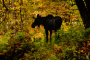 Moose Photos - Autumn Moose by Brent Ander