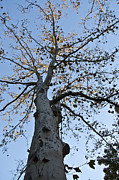 Bluesky Metal Prints - Autumn Oak Metal Print by Bill Cannon